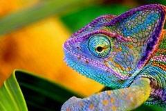 kameleon-van-dag-oud-kan-al-van-kleur-veranderen1-490x276-e1536532356612